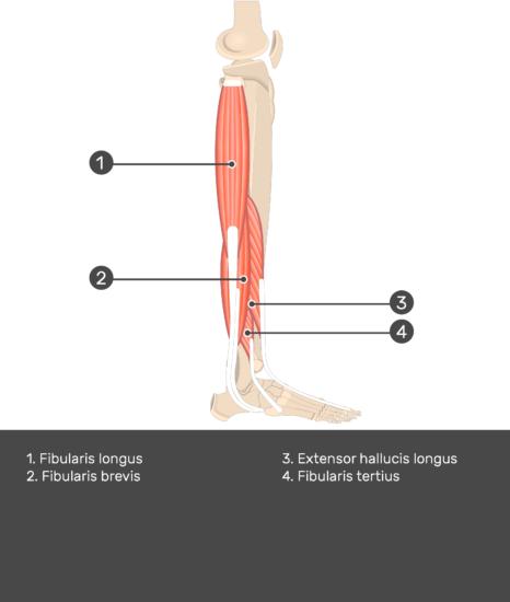 Fibularis (Peroneus) Brevis Muscle - Test yourself 12