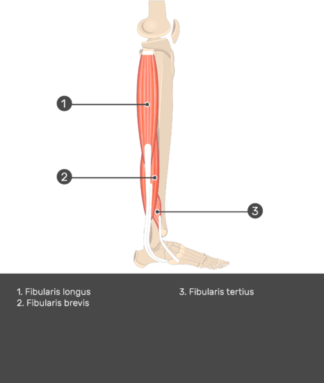 Fibularis (Peroneus) Brevis Muscle - Test yourself 13