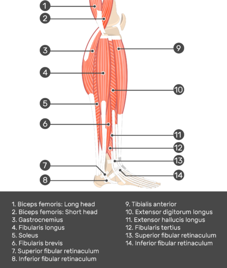 Fibularis (Peroneus) Brevis Muscle - Test yourself 3
