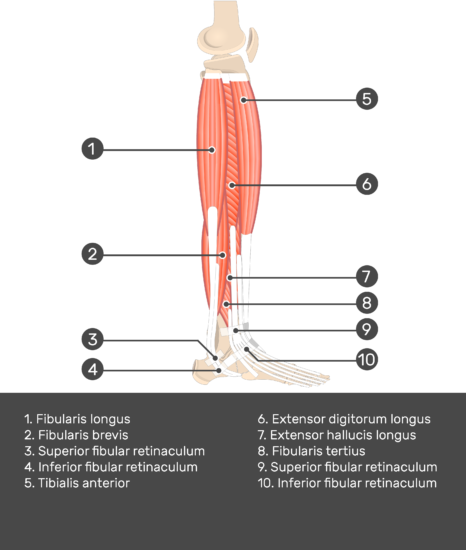 Fibularis (Peroneus) Brevis Muscle - Test yourself 6