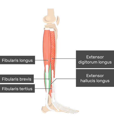 Fibularis (Peroneus) Brevis Muscle attached to the lower limb with other muscles