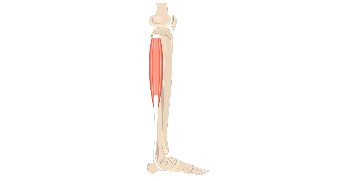 Fibularis (Peroneus) Longus Muscle - Featured