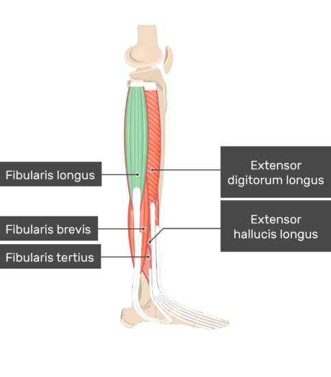 Fibularis (Peroneus) Longus Muscle attached to the lower limb with other muscles