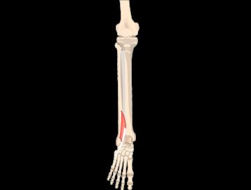 Fibularis (Peroneus) Teritius Muscle - Featured