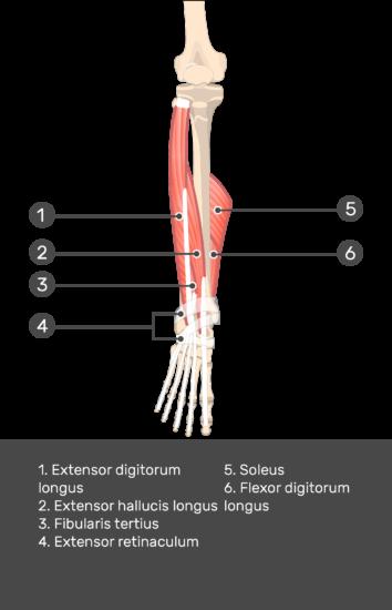 Fibularis (Peroneus) Teritius Muscle - Attachments ...