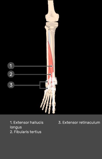 Fibularis (Peroneus) Teritius Muscle - Test yourself 14