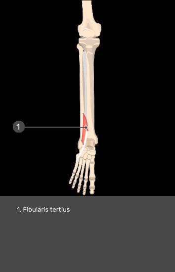 Fibularis (Peroneus) Teritius Muscle - Test yourself 16