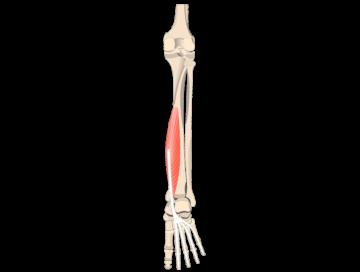 Flexor Digitorum Longus Muscle - Featured