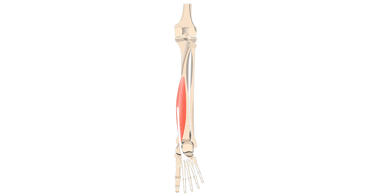 Flexor Digitorum Longus Muscle - Attachments, Actions & Innervation