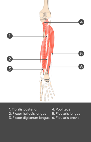 Flexor Digitorum Longus Muscle - Test yourself 10