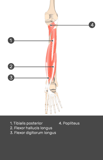 Flexor Digitorum Longus Muscle - Test yourself 12