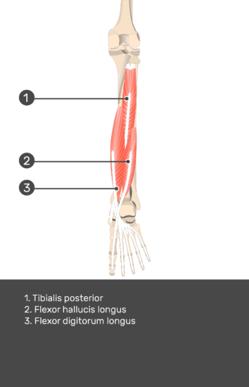 Flexor Digitorum Longus Muscle - Test yourself 13
