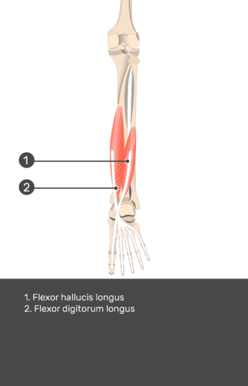 Flexor Digitorum Longus Muscle - Test yourself 14