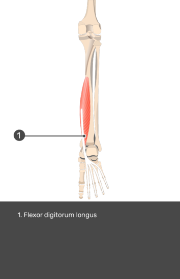 Flexor Digitorum Longus Muscle - Test yourself 15