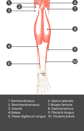 Flexor Digitorum Longus Muscle - Test yourself 2