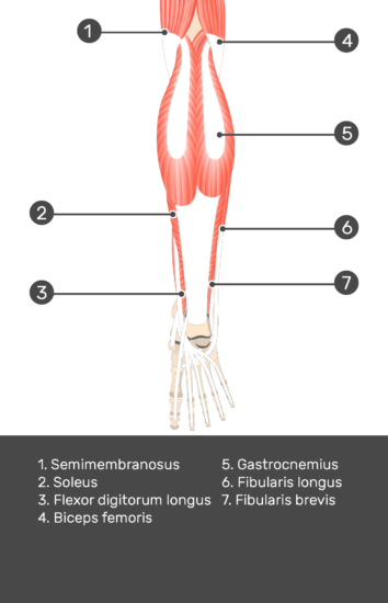 Flexor Digitorum Longus Muscle - Test yourself 4