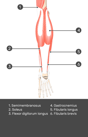 Flexor Digitorum Longus Muscle - Test yourself 6