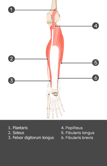 Flexor Digitorum Longus Muscle - Test yourself 8
