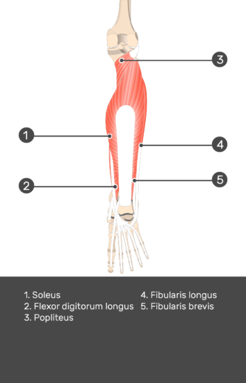 Flexor Digitorum Longus Muscle - Test yourself 9