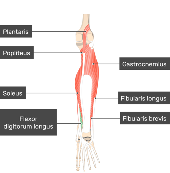 Flexor Digitorum Longus Muscle with other muscles attached to the lower limb
