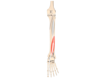 Flexor Hallucis Longus Muscle - Featured