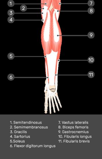 Flexor Hallucis Longus Muscle - Test yourself 1