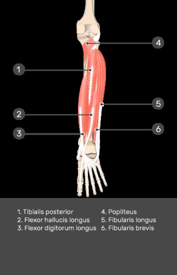 Flexor Hallucis Longus Muscle - Test yourself 10