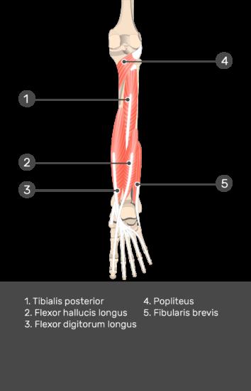 Flexor Hallucis Longus Muscle - Test yourself 11