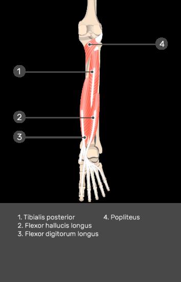 Flexor Hallucis Longus Muscle - Test yourself 12