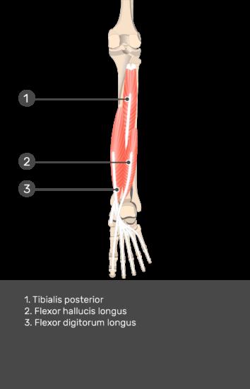 Flexor Hallucis Longus Muscle - Test yourself 13