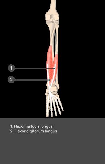 Flexor Hallucis Longus Muscle - Test yourself 14