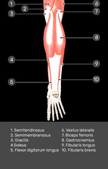 Flexor Hallucis Longus Muscle - Test yourself 2