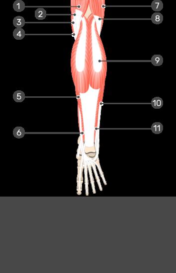 Flexor Hallucis Longus Muscle - Test yourself