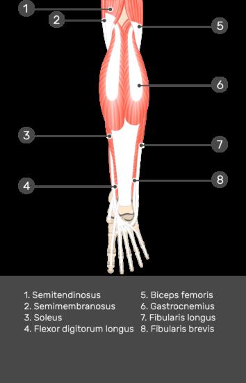 Flexor Hallucis Longus Muscle - Test yourself 4