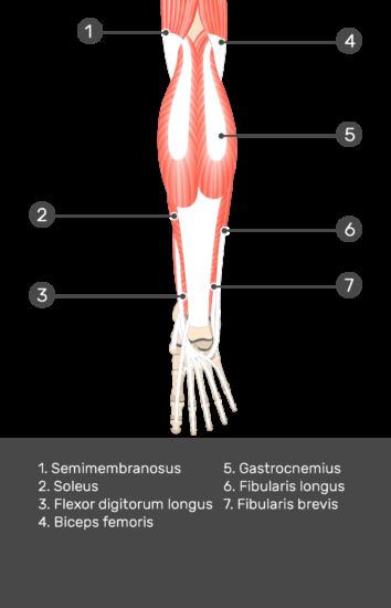 Flexor Hallucis Longus Muscle - Test yourself 5