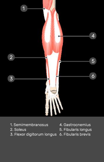 Flexor Hallucis Longus Muscle - Test yourself 6