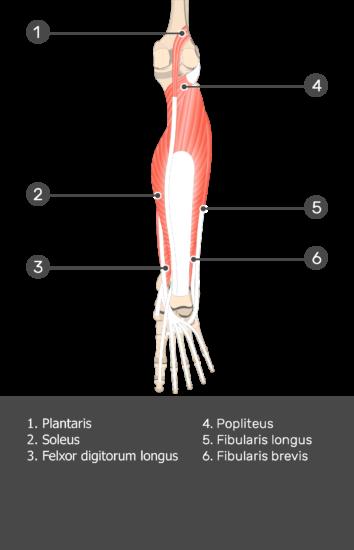 Flexor Hallucis Longus Muscle - Test yourself 8