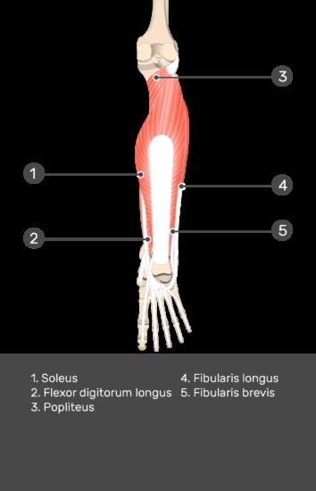 Flexor Hallucis Longus Muscle - Test yourself 9