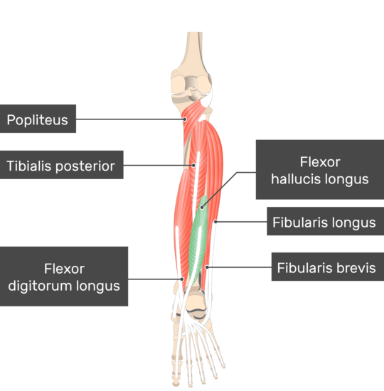 Flexor Hallucis Longus Muscle attached to the lower limb with other muscles