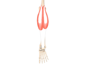 Gastrocnemius Muscle - Featured