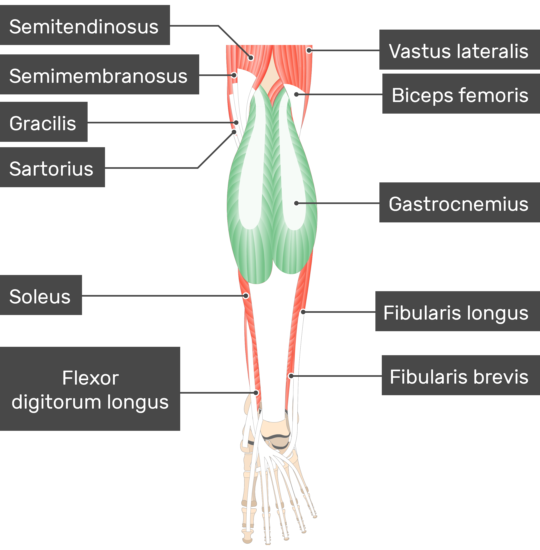Gastrocnemius muscle attachments actions innervation gastrocnemius muscle attached to the lower limb with other musclesa ccuart