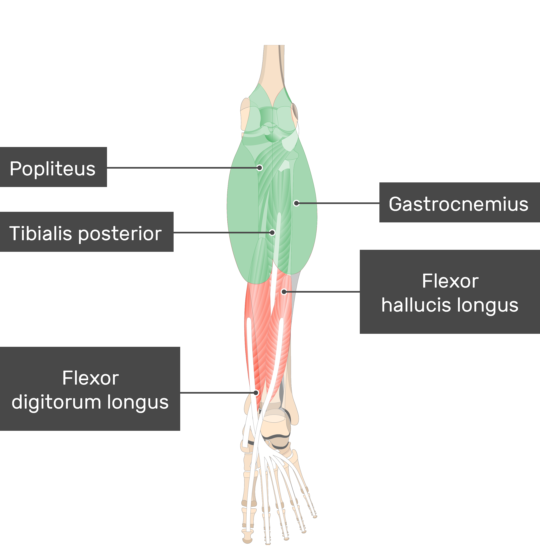 Gastrocnemius Muscle attached to the lower limb with other musclesa