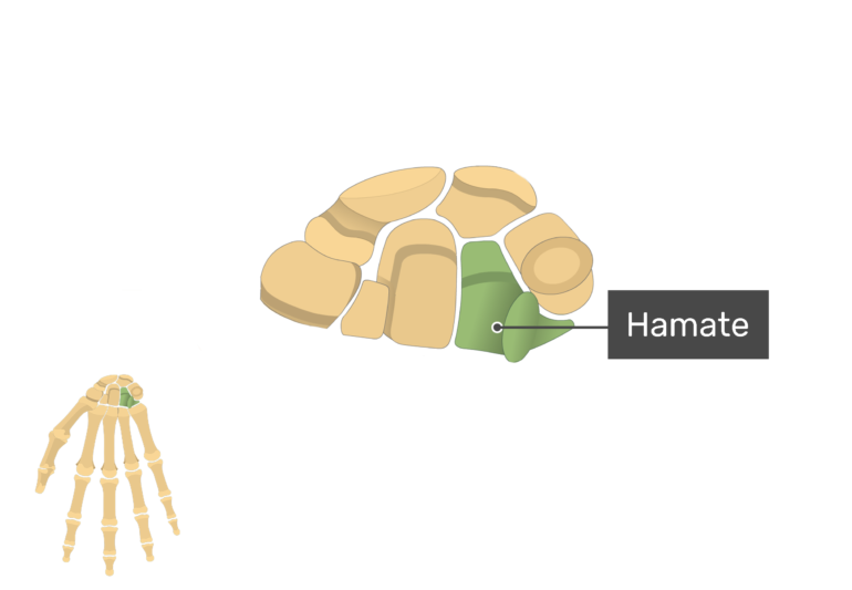 Anterior Hand and Wrist with the carpal bones being magnified and the hamate bone being highlighted