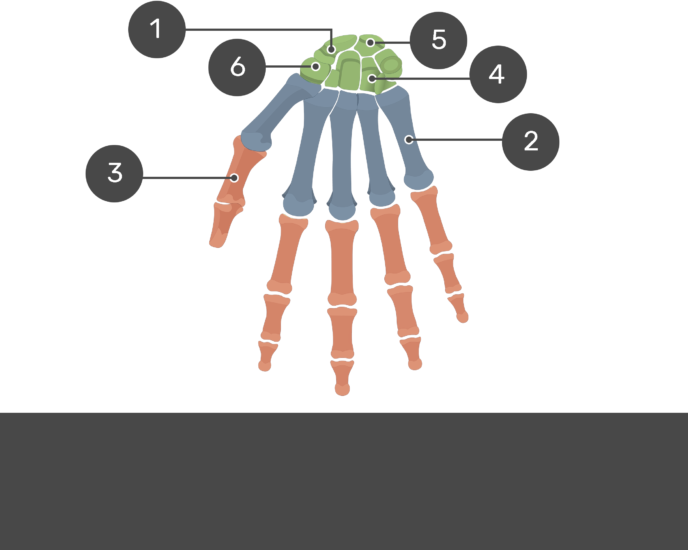 Test yourself on palmar hand anatomy