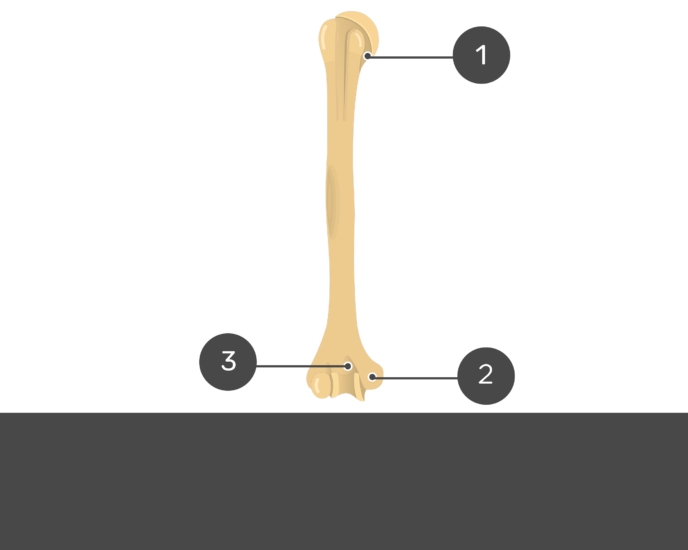 Test yourself on anterior humerus