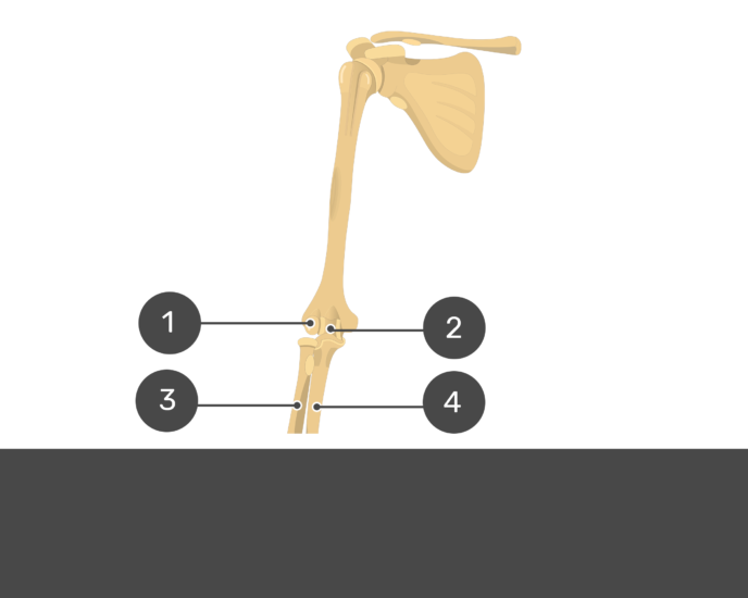 Distal end of humerus bone