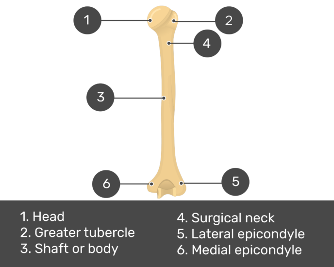 Test yourself on posterior view of humerus
