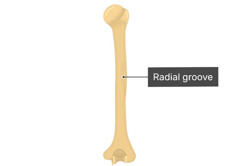 Radial groove or sulcus