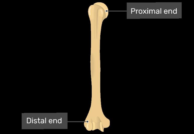 Humerus Anterior View