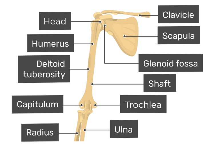 Distal end of the humerus
